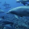 Bottlenose Dolphin (Tursiops truncatus) pod swimming over coral reef, Ogasawara Island, Japan